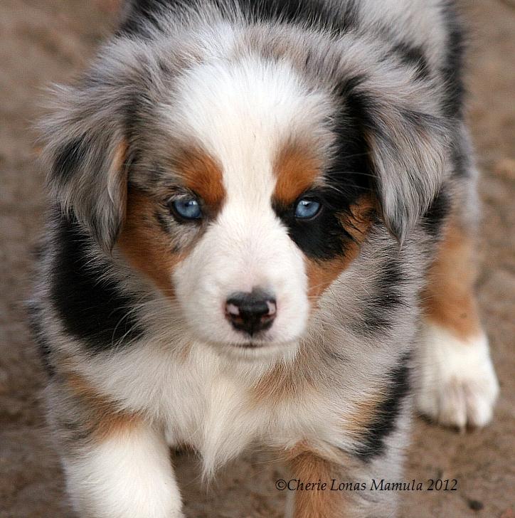 Chase N It Farm Mini Aussies Puppies